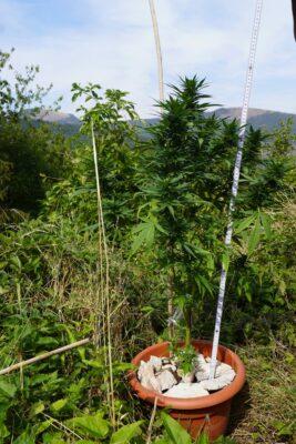piantagione-marijuana-pieve-torina1-267x400