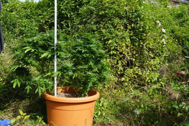 piantagione-marijuana-pieve-torina4-650x433