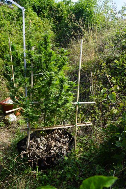 piantagione-marijuana-pieve-torina7-433x650