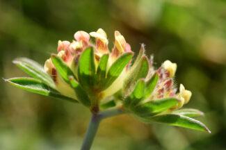 Anthyllis-apennina-M.-Tricella